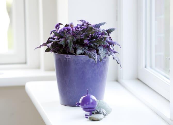 Гинура (синяя птица): уход в домашних условиях