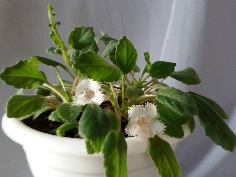 Альсобия – уход в домашних условиях. Выращивание, пересадка и размножение Альсобии
