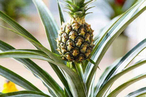 Комнатный ананас: уход в домашних условиях