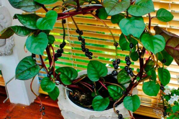 Растение базелла — заморский гость: выращивание из семян и уход в домашних условиях