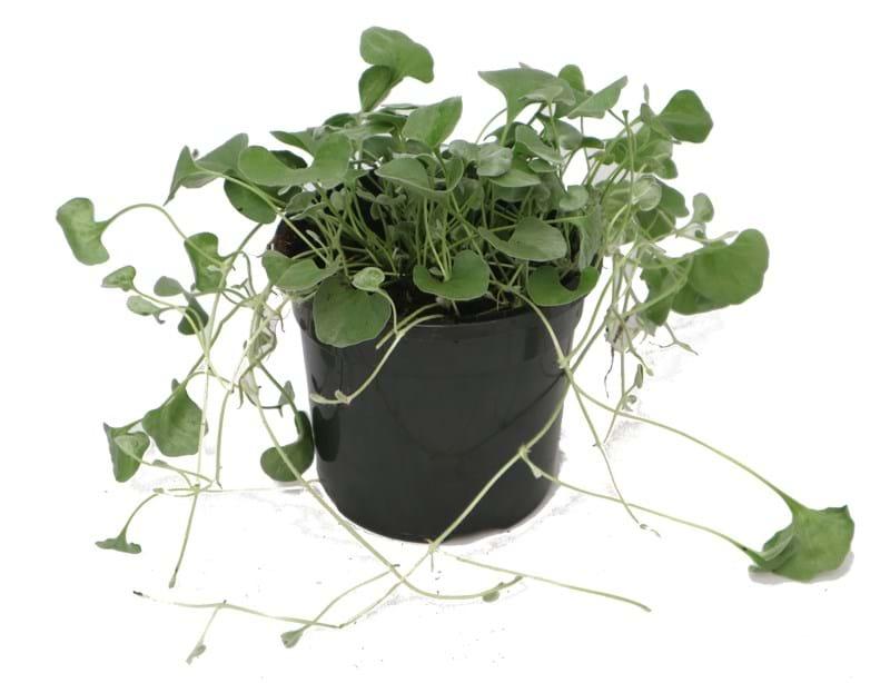 Ампельная дихондра Серебристый и Изумрудный водопад: выращивание дома из семян