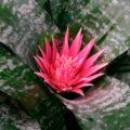 Цветок эхмея полосатая: уход в домашних условиях