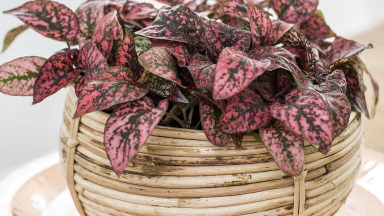 Цветок гипоэстес: уход в домашних условиях, размножение, фото