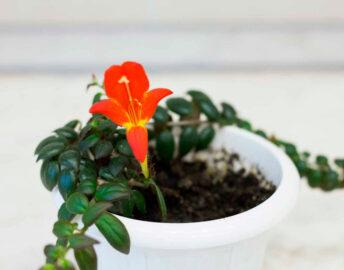 Колумнея аллена: уход в домашних условиях размножение и выращивание