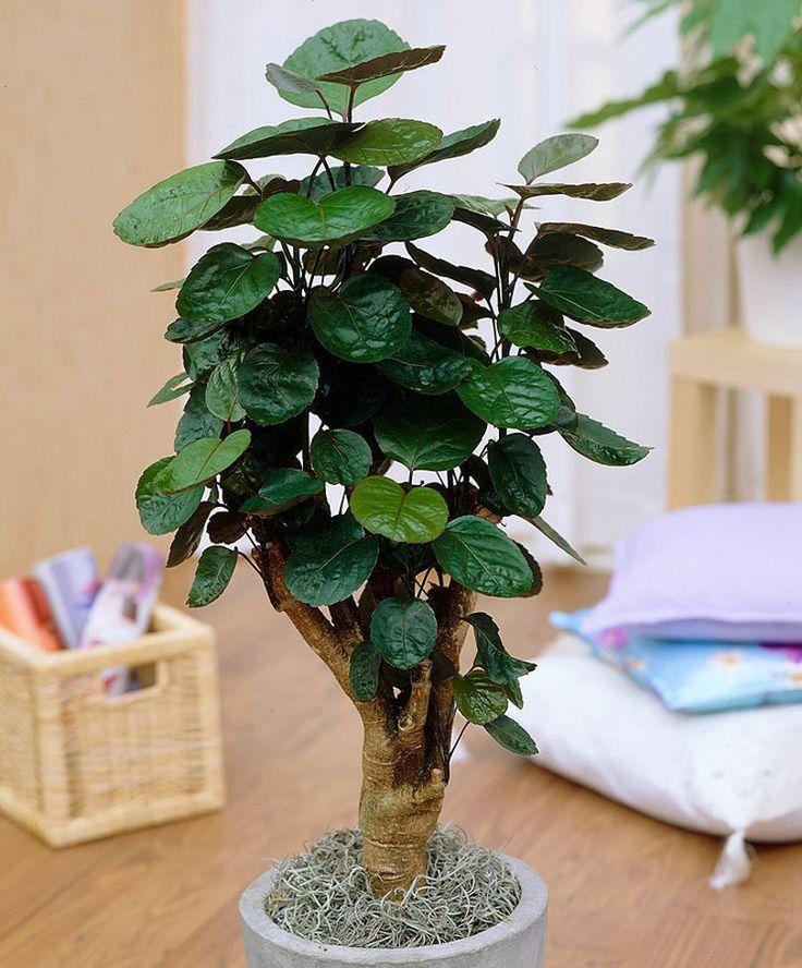 Цветок полисциас фабиан. Полисциас: уход в домашних условиях, фото