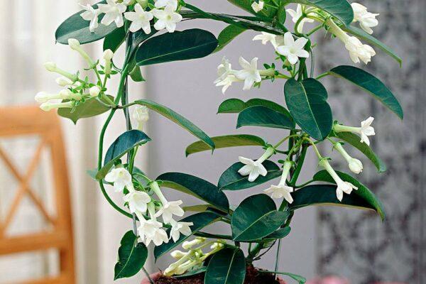Цветок стефанотис флорибунда: уход в домашних условиях
