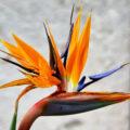 Цветок стрелиция королевская (райская птица): уход в домашних условиях