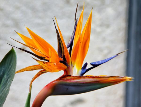 Стрелиция (райская птица): уход в домашних условиях