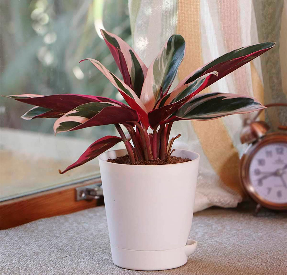 Цветок строманта: уход в домашних условиях, фото