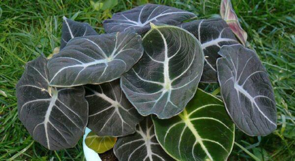 Алоказия уход в домашних условиях: комнатное растение цветок алоказия