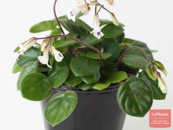 Примулина (Primulina) — описание, выращивание, фото