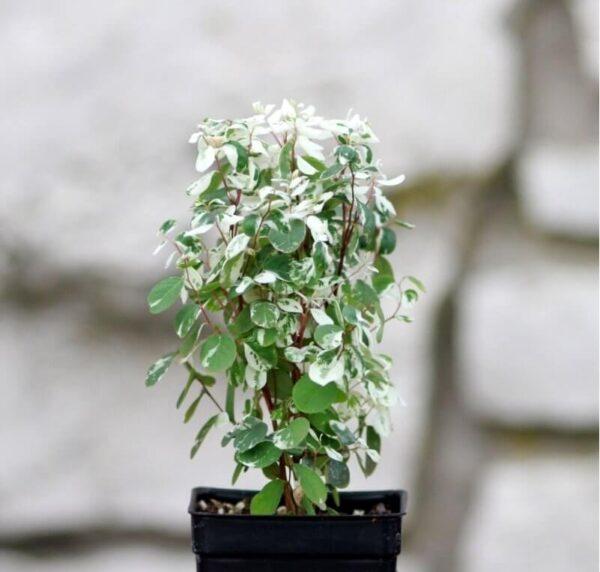 Брейния: уход за комнатным растением в домашних условиях