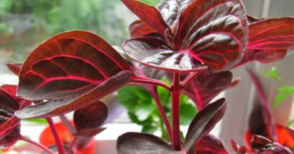 Цветок Ирезине: уход в домашних условиях