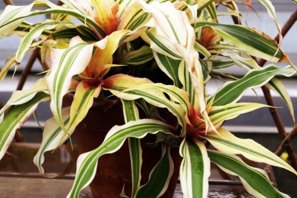 Криптантус: уход за растением в домашних условиях