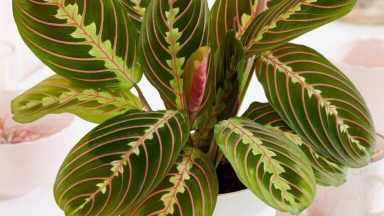 Цветок маранта трехцветная: уход в домашних условиях, виды с фото