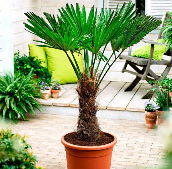 Пальма трахикарпус Вагнера и Форчуна: фото, уход в домашних условиях