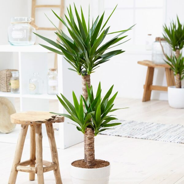 Юкка (Yucca): уход в домашних условиях