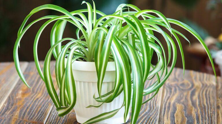 Хлорофитум: фото, уход в домашних условиях