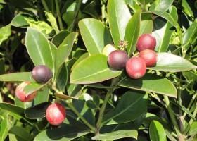 Акокантера: уход и выращивание растения
