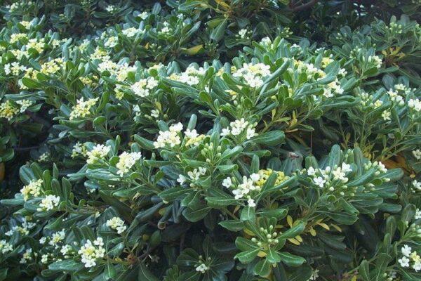 Питтоспорум (смолосемянник) – уход в домашних условиях. Выращивание питтоспорума, пересадка и размножение. Описание, виды. Фото