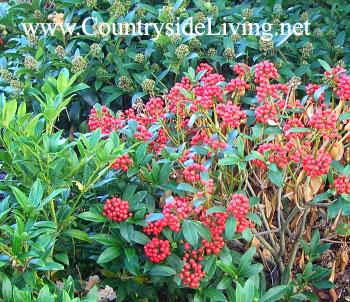 Скиммия (скимия, Skimmia) — садовое и домашнее растение. Уход, фото
