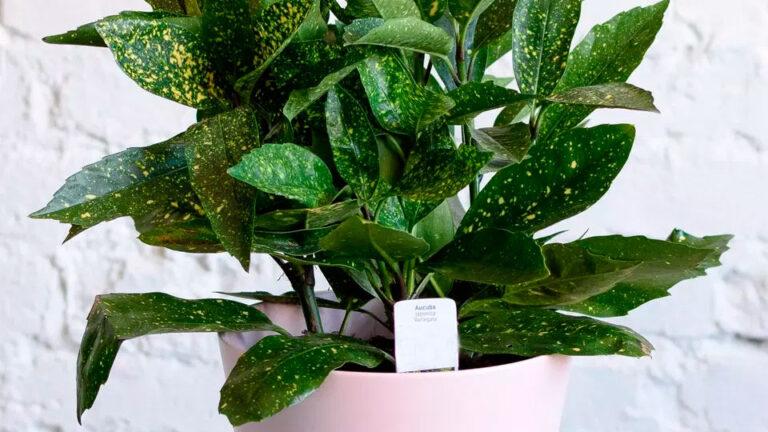Цветок аукуба японская:фото и уход в домашних условиях