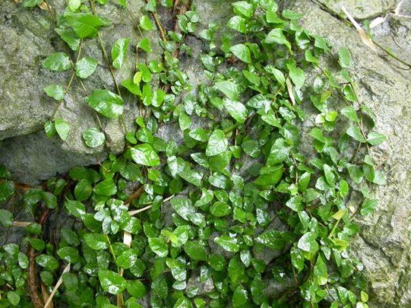 Фикус карликовый – фото и уход за растением в домашних условиях
