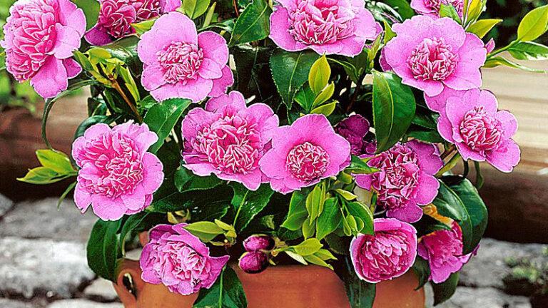 Домашний цветок камелия: посадка, размножение и цветение