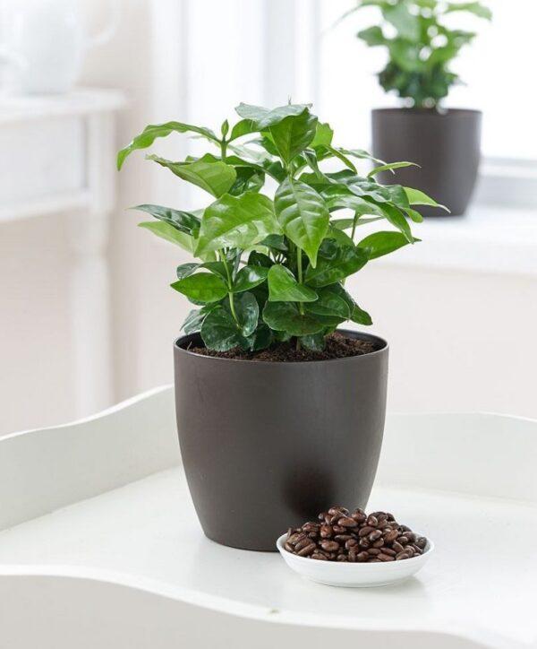 Кофейное дерево: выращивание в домашних условиях