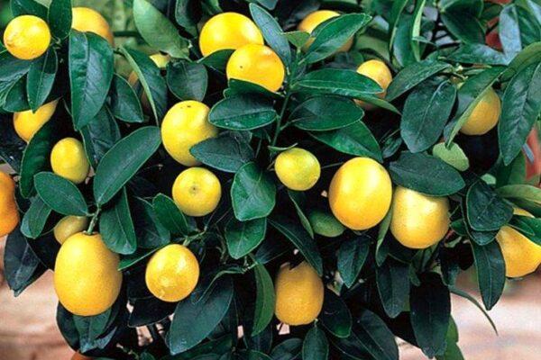 Комнатный лимон: уход в домашних условиях