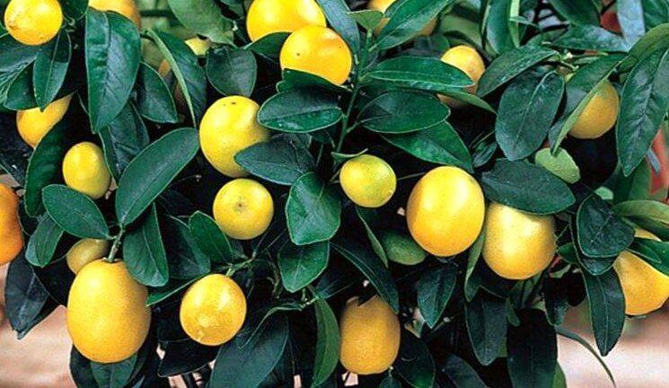 Лимонное дерево: уход в домашних условиях