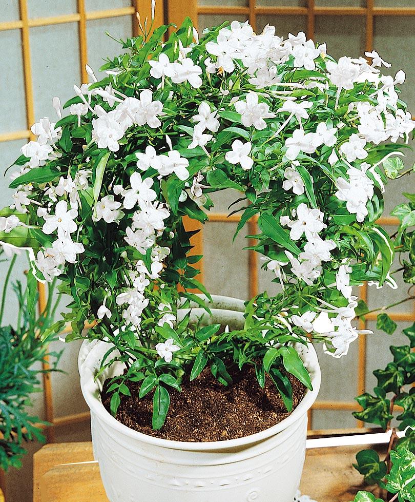 Жасмин цветок комнатный: уход в домашних условиях, виды и фото