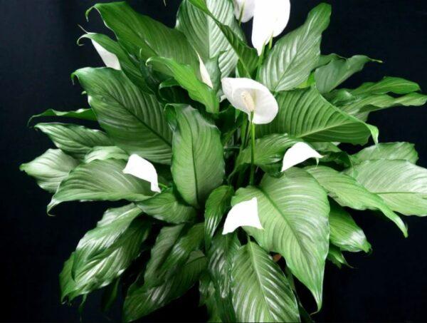 Цветок эпифиллум в домашних условиях: на фото Оксипеталлум, Угловатый, Ангулигер и эпифиллум Dreamland
