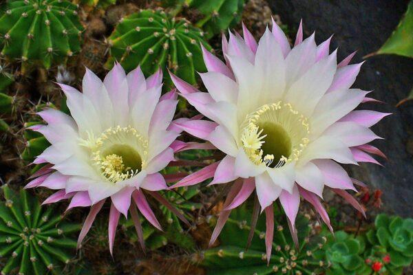 Кактус эхинопсис: описание, особенности выращивания, полив, пересадка