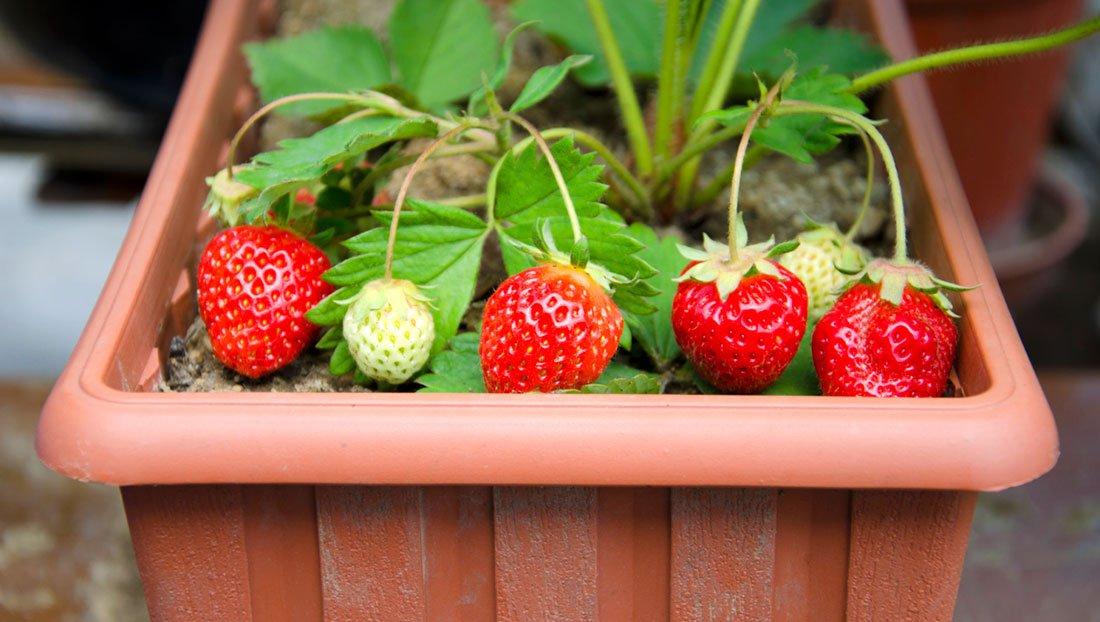 Домашняя клубника на подоконнике. Собираем урожай с ягодницы