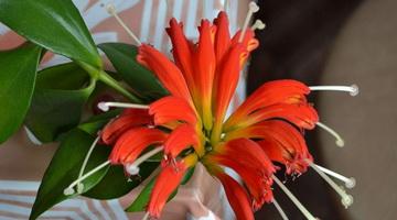 Эсхинантус цветок. Описание, особенности, виды и уход за Эсхинантусом