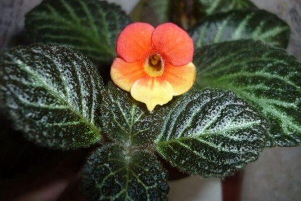 Цветок «Эписция»: описание, фото, размножение и уход в домашних условиях
