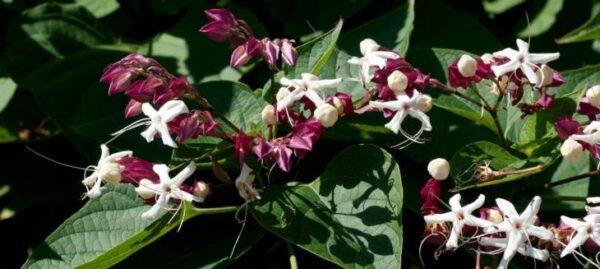 Цветок клеродендрум: уход в домашних условиях фото